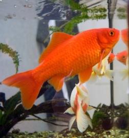 Goldfish Oranje