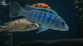 Melanochromis Exasperatus / Malawi Cichlide