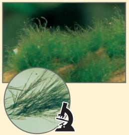 Penseelalgen, Rode algen