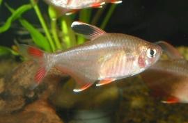 hyphessobrycon bentosi rosaceus / Roze Tetra