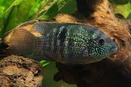 Aequidens pulcher / Blauwe Acara