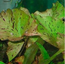 Nymphaea lotus groen aquariumplant - Groene tijgerlotus