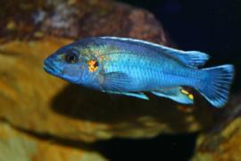 Melanochromis lepidiadaptes cobalt / Malawi Cichlide