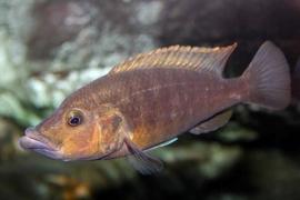 Abactochromis labrosus