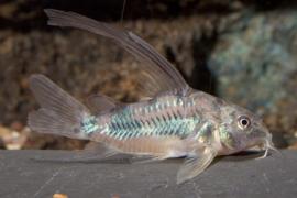 corydoras paleatus longfin / pantsermeerval