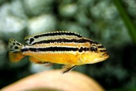 Melanochromis Auratus / Malawi Cichlide
