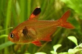Hyphessobrycon sweglesi / Rode Fantoomzalm