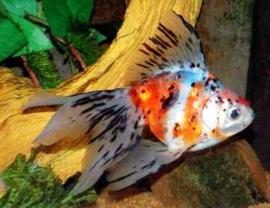 Fancy Goldfish Calico