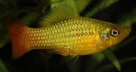 Xipho. Maculatus  Variatus green/ Platy Variatus green