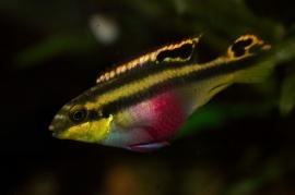 pelvicachromis Pulcher / kersenbuikcichlide