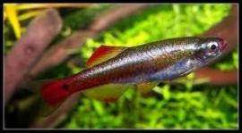 Tanichthys albonubes / Chinese danio
