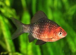 Barbus nigrofasciatus / purperkopbarbeel