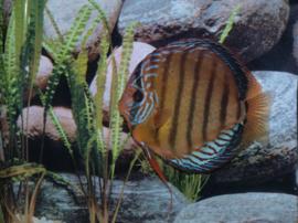 Symphysodon / Stendker Santarem