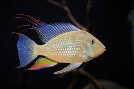 Acarichthys Heckelii /Heckeli cichlide