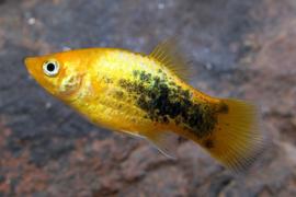 Xipho. Maculatus  Tuxedo Yellow /  Platy Tuxedo Geel