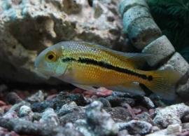 Cichlasoma nicaraguensis / Hypsophrys nicaraguensis