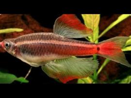 Tanichthys albonubes Longfin / Chinese Danio Longfin