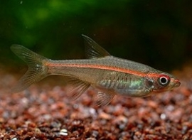 pauciper forata / roodstreep rasbora