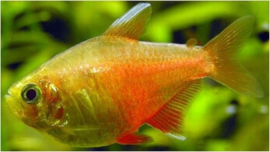 Hyphessobrycon flammeus orange / orange Rio