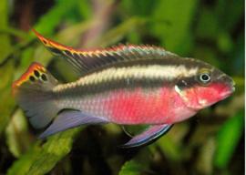 Pelvicachromis Pulcher super red / Kersenbuik cichlide