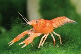 Cambarellus / Oranje Montezumae dwergkreeft (CPO)