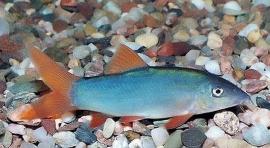 Botia modesta blue / Blauwe roodstaart