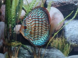 Symphysodon / Stendker Brilliant  Turquoise
