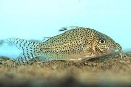 Corydoras Leopardus / Pantsermeerval