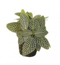 FITTONIA MINI WIT
