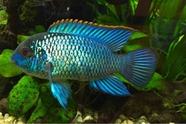 Nannacare Anomala electric blue / Neon  cichlide