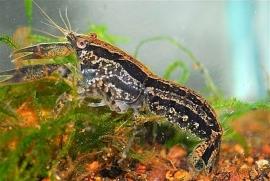 Cambarellus Texanus / dwergkreeft