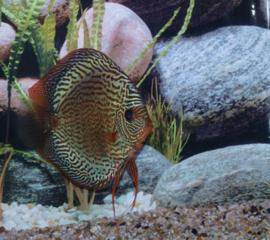 Symphysodon / Stendker Snake Skin Blauw