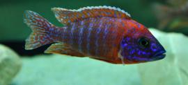 Aulonocara Rubin Red