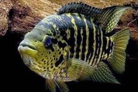 Cichlasoma friedrichsthalii / Parachromis friedrichsthalii