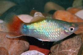 Xipho. Maculatus  Coral blue / Platy Coral blue