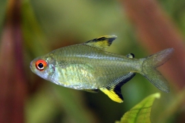 Hyphessobrycon pulchripinnis  /  Citroentetra