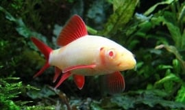 labeo frenatus albino / Albino Labeo