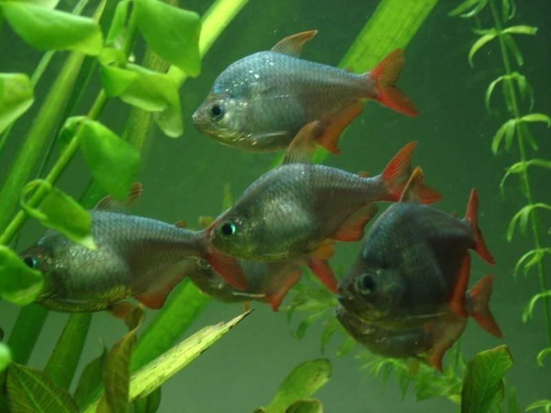 Moenkhausia Colombia Tetra Tropische Vissen Database G D Aquaria