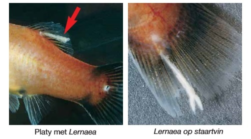 Ankerworm vis.jpg