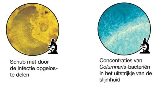 Columnaris microscoop.jpg
