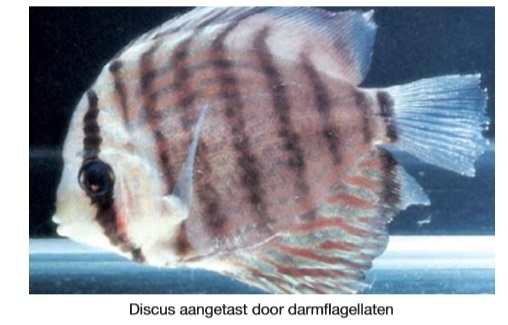 Darmflagelaten vis.jpg