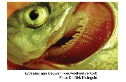 Kiewkreeftjes vis.jpg