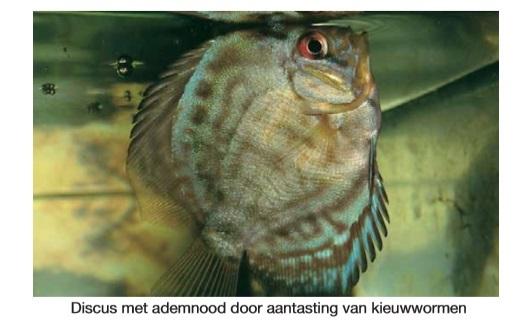 Kiewwormen vis.jpg