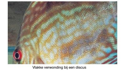 Verwonding vis.jpg