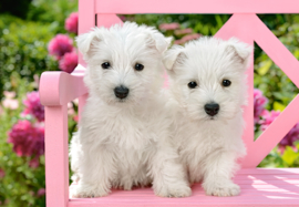Witte terrier puppies, White terrier puppies Castorland C-151721-2