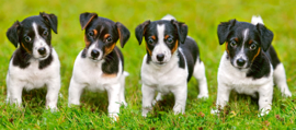 Jack Russell Terriër puppies Castorland B-060337