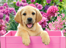 Labrador puppy in pink box Castorland B-030071