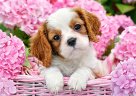 Pup in pink flowers Castorland B-52233