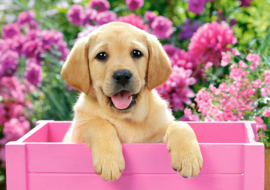 Labrador puppy in pink box Castorland B-52226