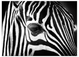 Canvas Schilderij Zebra Close Up